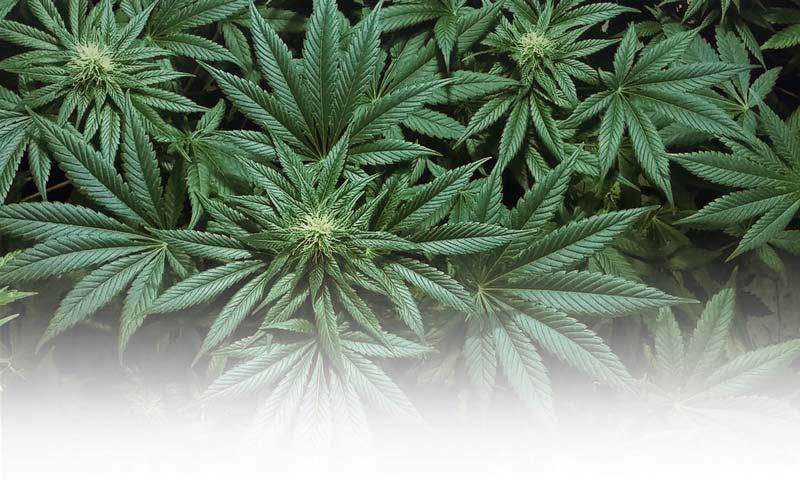 Marijuana farm insurance